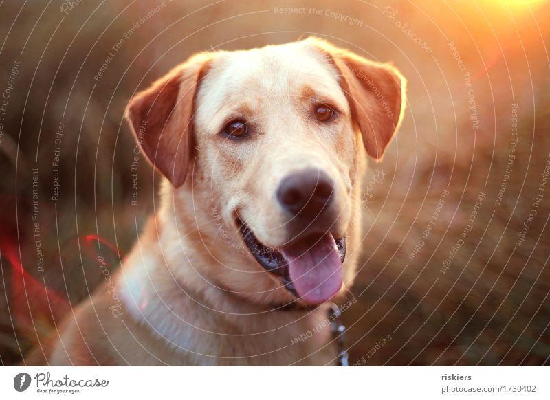 treue Seele Natur Landschaft Sommer Schönes Wetter Feld Tier Haustier Hund 1 Lächeln leuchten Blick Freundlichkeit Fröhlichkeit natürlich niedlich gold orange