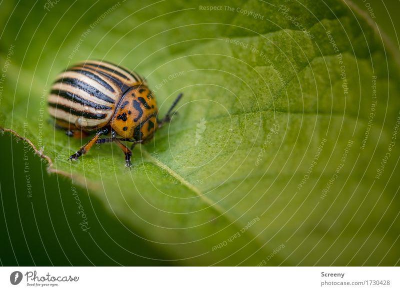 Der Kartoffel größter Feind Natur Pflanze Tier Frühling Sommer Blatt Feld Wildtier Käfer 1 krabbeln klein braun grün orange schwarz Kartoffelkäfer Farbfoto
