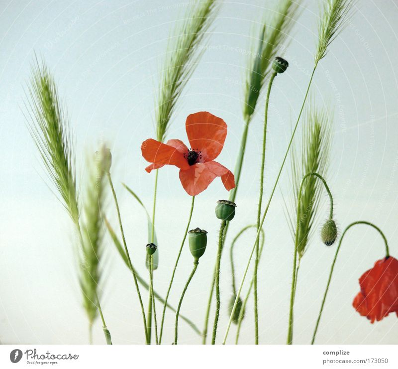 Mohnique Himmel Natur schön Pflanze Sonne Sommer Blume Umwelt Gras wild Sträucher Schönes Wetter Getreide Rauschmittel Ehrlichkeit