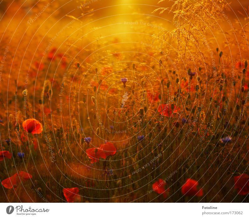 Sommerwiese Farbfoto mehrfarbig Außenaufnahme Menschenleer Abend Licht Sonnenstrahlen Sonnenaufgang Sonnenuntergang Umwelt Natur Pflanze Erde Sonnenlicht