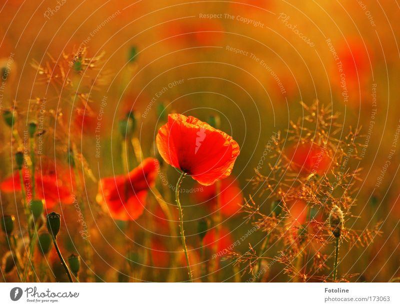 Sommerwiese II Natur schön Pflanze Blatt Wiese Blüte Gras Wärme Landschaft hell Feld Umwelt Erde ästhetisch wild