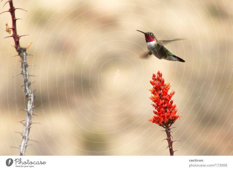 Hummingbird one Pflanze rot Tier Stimmung Vogel exotisch Bewegungsunschärfe Wildpflanze Kolibris