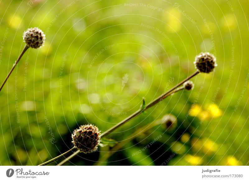 Wiese Natur grün Pflanze Sommer Wiese Gras Frühling Park Umwelt frisch Wachstum rund Wildpflanze