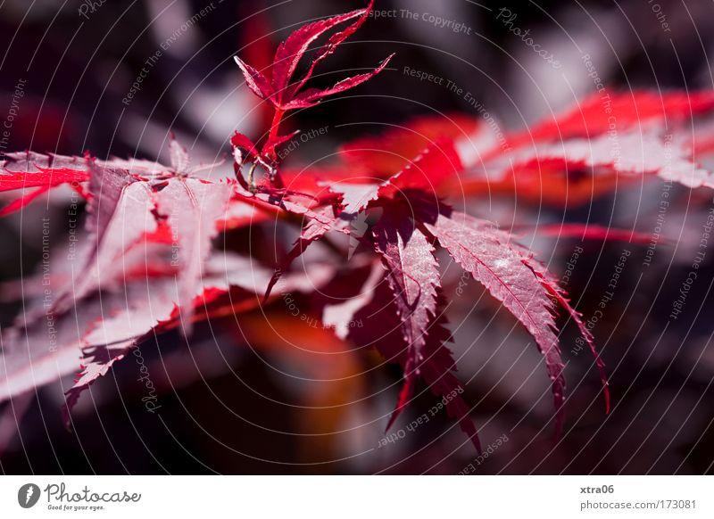 red Natur Pflanze Blatt ästhetisch Sträucher