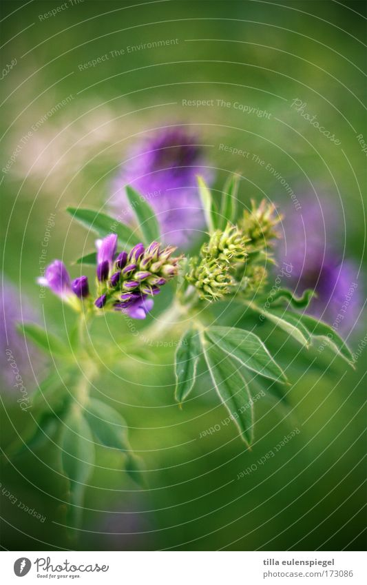 8 Blume grün Pflanze Farbe Wiese violett Farbenspiel