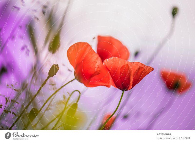 Mohn am Montag Himmel Natur Pflanze Sommer grün Blume Wiese Gras Garten orange rosa Luft Blühend Vergänglichkeit Wandel & Veränderung Klatschmohn