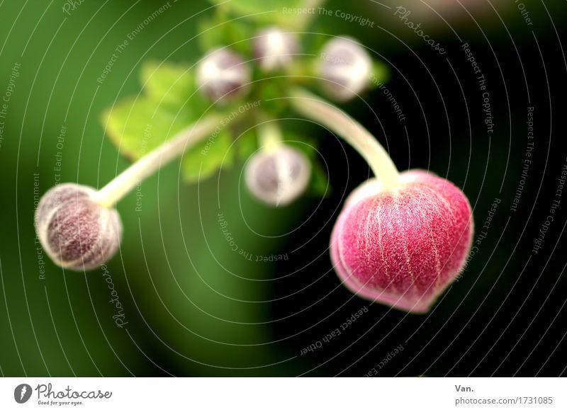 doppeltes Lottchen Natur Pflanze Frühling Sträucher Blatt Blüte Blütenknospen Garten Blühend grün rosa schwarz Farbfoto mehrfarbig Außenaufnahme Makroaufnahme