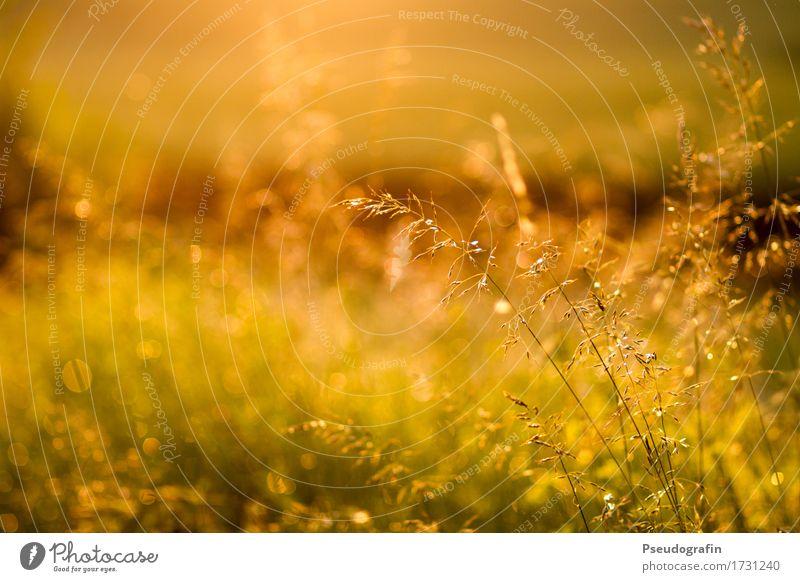 Abendstimmung Natur Pflanze Sommer Sonne Landschaft ruhig Gras Stimmung Regen Zufriedenheit Feld ästhetisch Wassertropfen Schönes Wetter Abenddämmerung