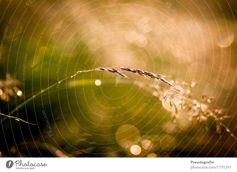 Nach dem Regen Natur Pflanze Sommer Gras Stimmung glänzend Feld ästhetisch Wassertropfen Warmherzigkeit
