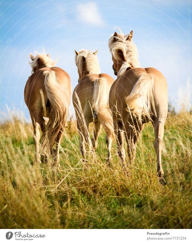 Drei Haflinger Tier Nutztier Pferd 3 rennen Bewegung gehen laufen ästhetisch blond Fröhlichkeit schön natürlich braun gold Stimmung Freude Lebensfreude Kraft