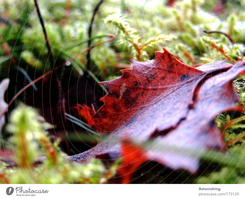 Blatt im Moos Umwelt Natur Pflanze Sommer Herbst hell braun grün Spitze Zacken Halm Farbfoto Außenaufnahme Makroaufnahme Menschenleer Tag Kontrast Unschärfe