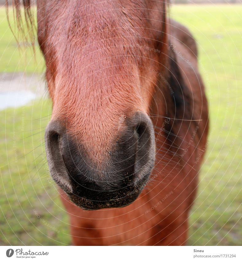 Schnute Reiten Reitsport Natur Wiese Garten Tier Pferd Tiergesicht 1 beobachten schön kuschlig nah Neugier niedlich Tierliebe Kraft Vertrauen Zufriedenheit