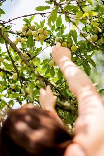 Mirabellenernte 2 Mensch Sommer Baum Hand feminin Garten Frucht Arme genießen Ernte Nutzpflanze pflücken Pflaume Obstbaum Pflaumenbaum