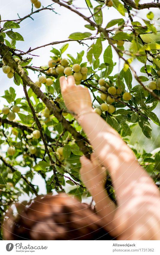 Mirabellenernte 1 Mensch Sommer Baum Hand feminin Garten Frucht Arme genießen Ernte Nutzpflanze pflücken Pflaume Obstbaum Pflaumenbaum