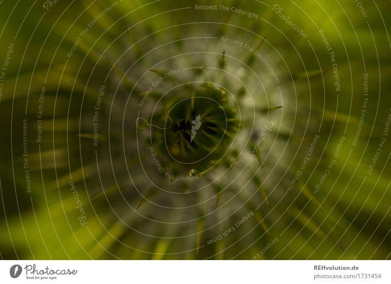 Distel Umwelt Natur Pflanze Blüte Grünpflanze Garten grün Blütenknospen Stachel rund Distelrosette Farbfoto Außenaufnahme Nahaufnahme Detailaufnahme