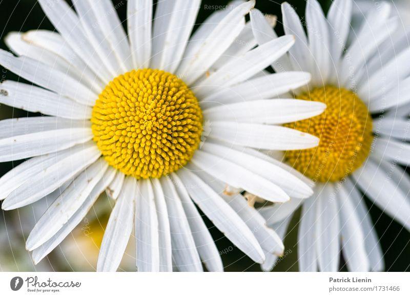 Leucanthemum vulgare schön Wellness Leben harmonisch Wohlgefühl Zufriedenheit Erholung Sommer Garten Natur Landschaft Pflanze Frühling Blume Gras Blatt Blüte