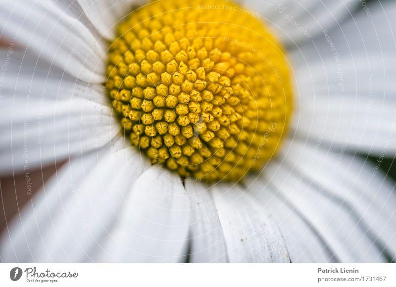 Leucanthemum vulgare schön Wellness Leben harmonisch Wohlgefühl Zufriedenheit Sinnesorgane Erholung ruhig Sommer Garten Natur Landschaft Pflanze Urelemente