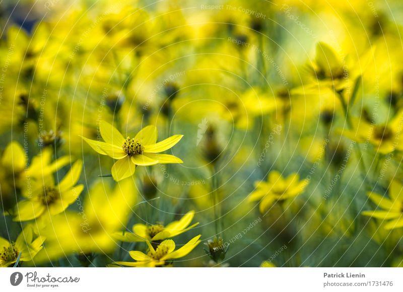 Gelber Traum schön Sommer Garten Umwelt Natur Landschaft Pflanze Blume Blatt Blüte Park Wiese ästhetisch außergewöhnlich frisch hell einzigartig natürlich weich