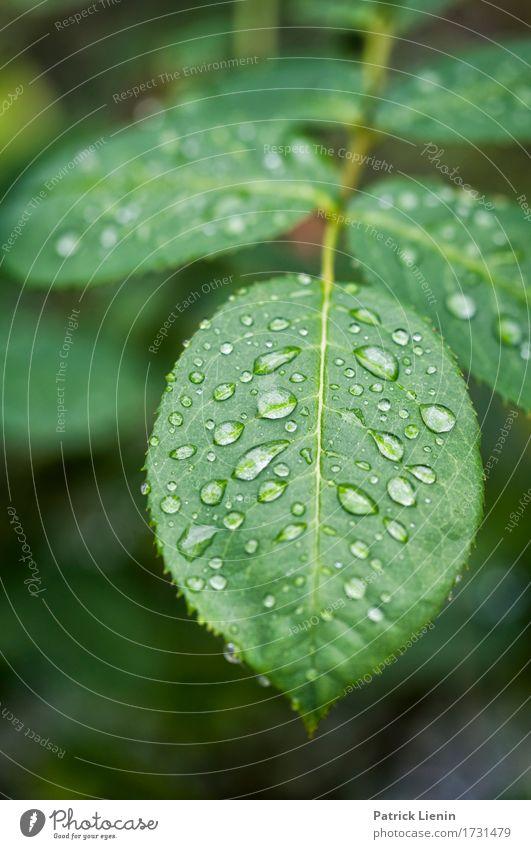 Regentag Garten Umwelt Natur Pflanze Urelemente Wasser schlechtes Wetter Blume Rose Blatt Tropfen frisch hell nass natürlich Ehre Akzeptanz Vertrauen Sicherheit