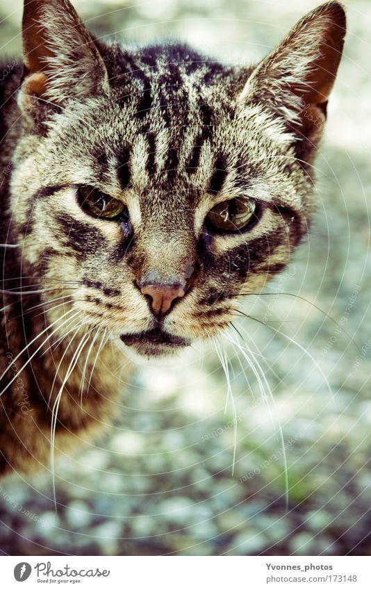 In the light Katze Tier hell beobachten Fell Tiergesicht Haustier tierisch Hauskatze füttern Tierliebe intensiv Tigerfellmuster Tierschutz Umweltschutz Katzenkopf