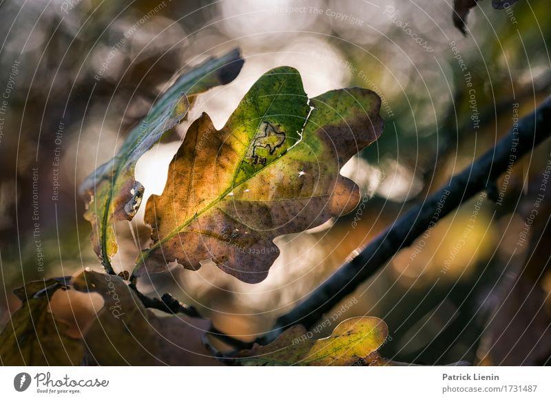 Herbstlicht schön Umwelt Natur Pflanze Klima Schönes Wetter Baum Blatt Park Wald einzigartig natürlich braun grün Zufriedenheit Lebensfreude Kraft Akzeptanz