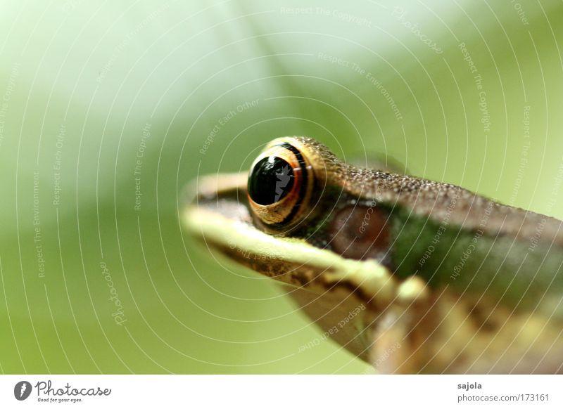 happy birthday froggy Natur grün Tier Auge braun Wildtier sitzen warten beobachten Tiergesicht Asien Urwald Frosch Froschlurche Malaysia Borneo
