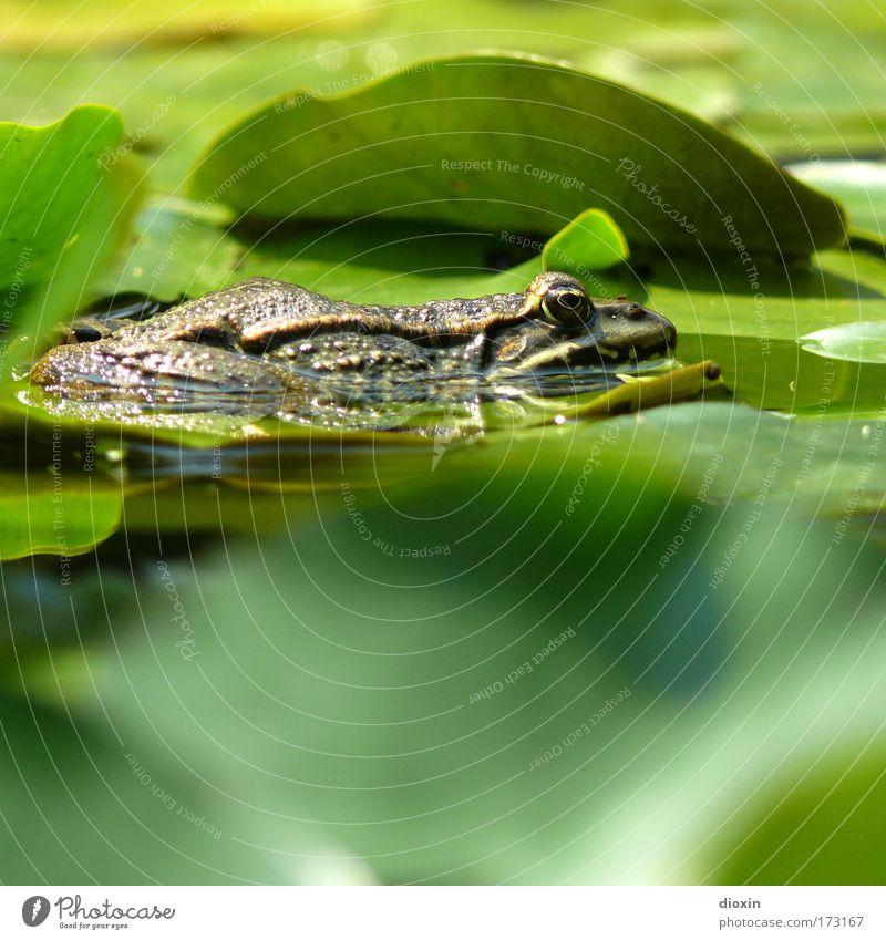 Frog 4 Froggy! Natur Wasser grün Pflanze ruhig Blatt Tier Erholung warten glänzend Umwelt nass Pause liegen wild Wildtier