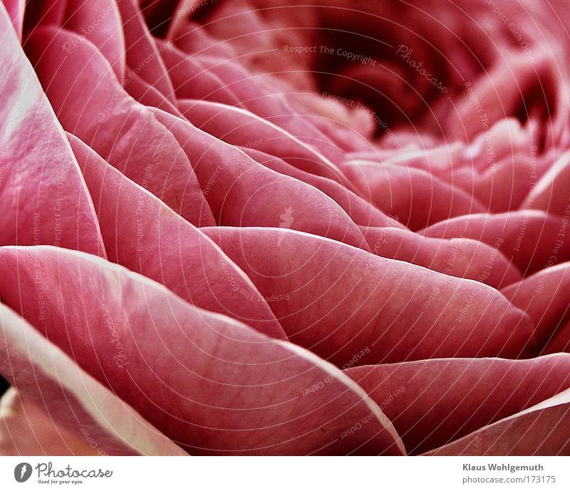 Blick ins Herz einer Rose Natur Pflanze Sommer ruhig Blüte Blume Romantik Duft Gemälde genießen exotisch Parfum Kunst
