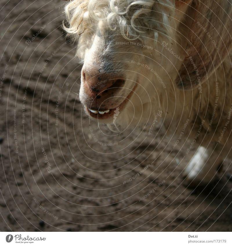 Wolle Tier Haare & Frisuren Zufriedenheit Nase Fröhlichkeit weich Tiergesicht Fell grinsen Lächeln Zoo Locken Ziegen Nutztier Streichelzoo