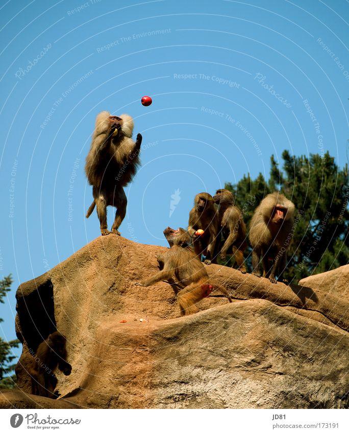 einer geht noch, einer geht noch rein... blau Tier braun Felsen Kraft Erfolg Tiergruppe beobachten Neugier Hügel Apfel Konzentration fangen Zoo Mut Fressen