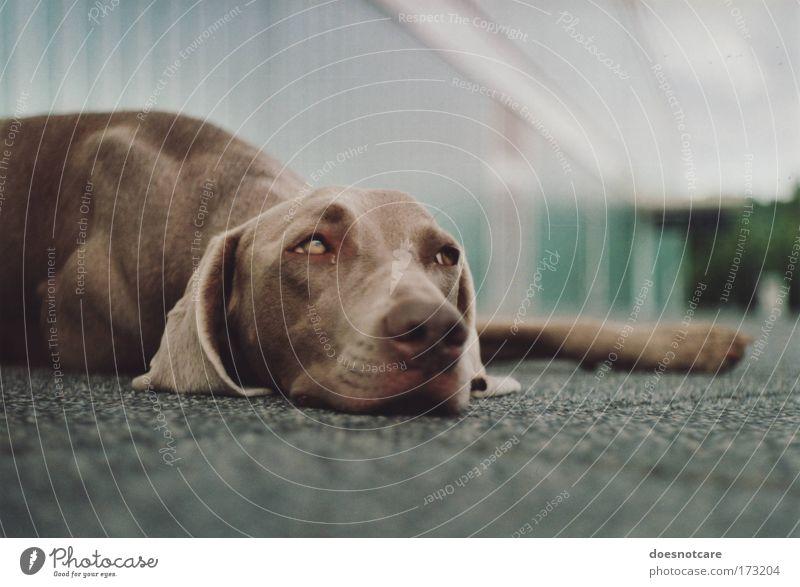 ... but gravity always gets you down. Tier Haustier Hund Jagdhund Weimaraner 1 Erholung liegen braun Müdigkeit analog 35 Millimeter Film niedlich Pause Farbfoto