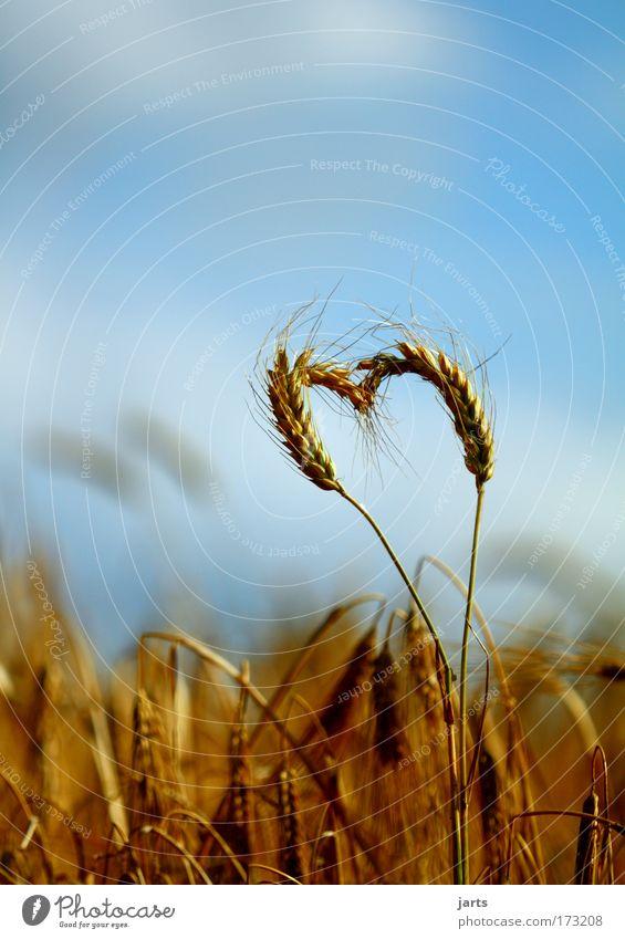 nature love Natur Sommer Liebe Leben Umwelt Feld Herz natürlich Lebensmittel Getreide Ernte Kornfeld Bioprodukte Rohstoffe & Kraftstoffe
