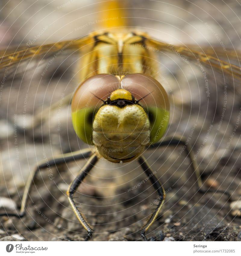 Glubschaugen im Quadrat Tier Wildtier Fliege Tiergesicht Flügel 1 fliegen Groß Libelle Libellenflügel Farbfoto mehrfarbig Außenaufnahme Nahaufnahme