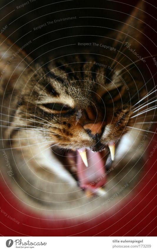 esso Farbfoto Innenaufnahme Vogelperspektive Tierporträt Haustier Katze Tiergesicht 1 Aggression bedrohlich rebellisch wild Wut gefährlich Stress Zähne zeigen