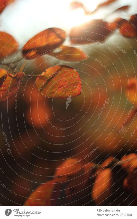 Herbst Umwelt Natur Pflanze Baum Sträucher Blatt natürlich braun Gefühle Stimmung Farbfoto Gedeckte Farben Außenaufnahme Textfreiraum unten Tag Gegenlicht