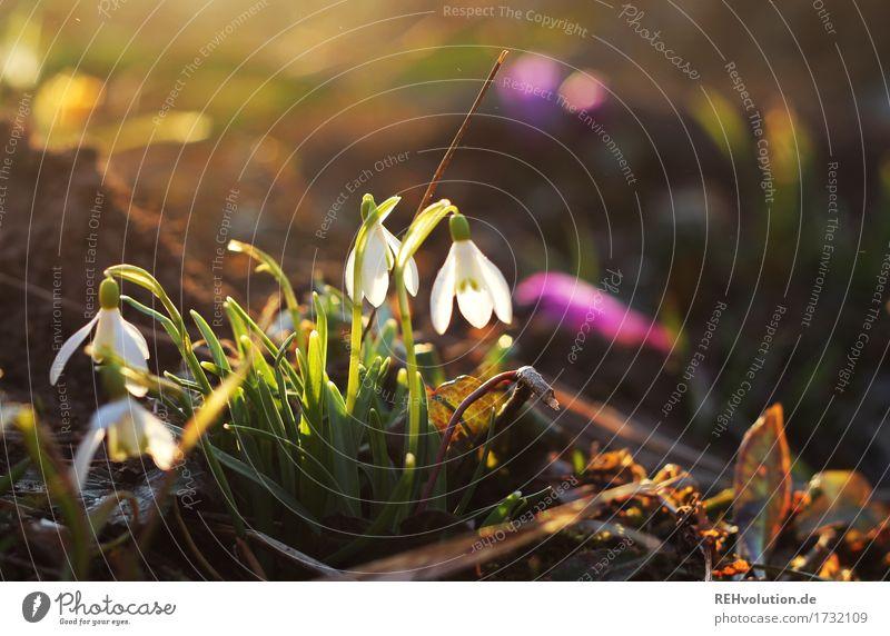 Schneeglöckchen Umwelt Natur Landschaft Sonnenlicht Frühling Garten Park Blühend leuchten ästhetisch natürlich schön Stimmung Frühlingsgefühle Vorfreude