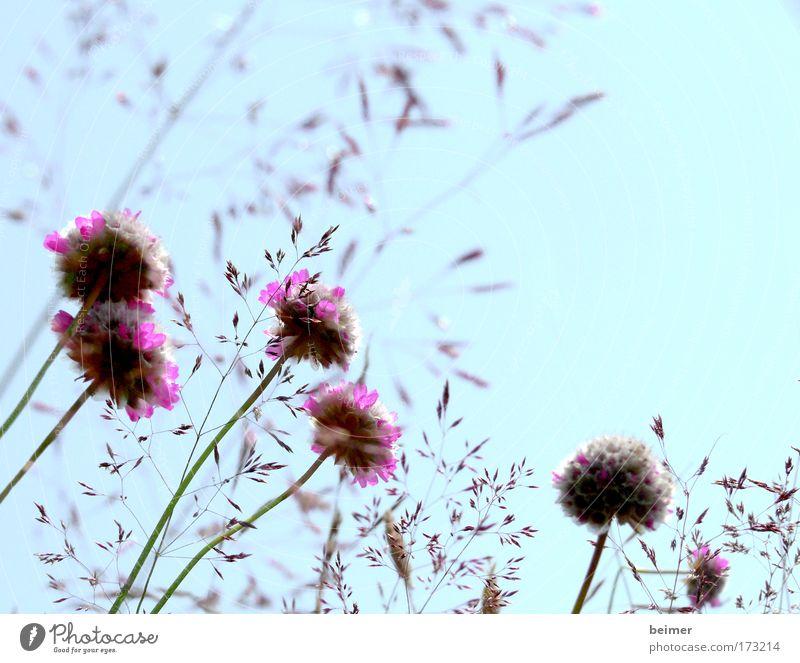 verblüht Natur schön Blume blau Pflanze Sommer Wiese Blüte Gras Feld rosa Umwelt Wachstum violett Vergänglichkeit natürlich