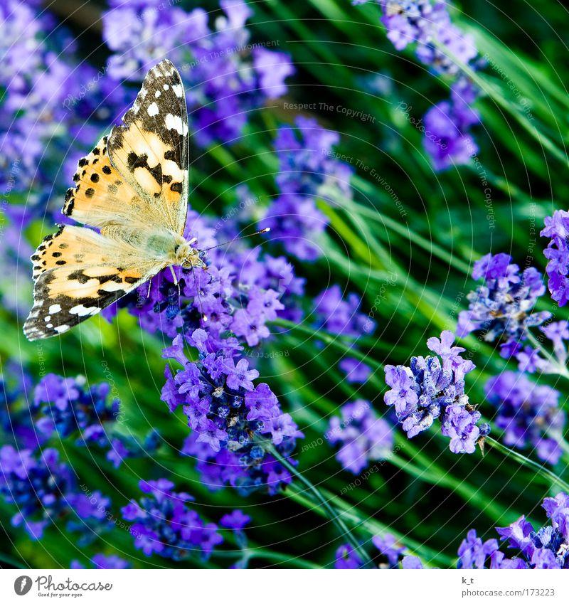 Man sagte mir, der heißt Distelfalter. Farbfoto Außenaufnahme Makroaufnahme Tag Natur Sommer Pflanze Blume Sträucher Blüte Lavendel Tier Wildtier Schmetterling