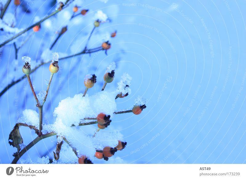 Hagebutte mit Schnee Farbfoto Außenaufnahme Menschenleer Textfreiraum rechts Textfreiraum oben Tag Schwache Tiefenschärfe Winter Winterurlaub Umwelt Natur