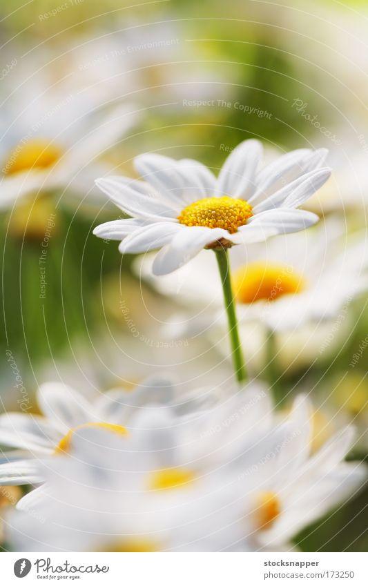Natur Blume Sommer Makroaufnahme Gänseblümchen Wiesenblume Margerite