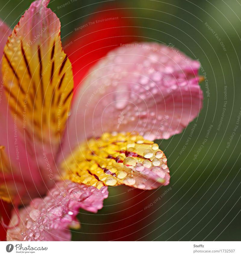 Regen-Lilie Natur Pflanze Sommer schön Blume gelb Blüte Garten rosa Wassertropfen Blühend nass Tropfen Blütenblatt Lilien