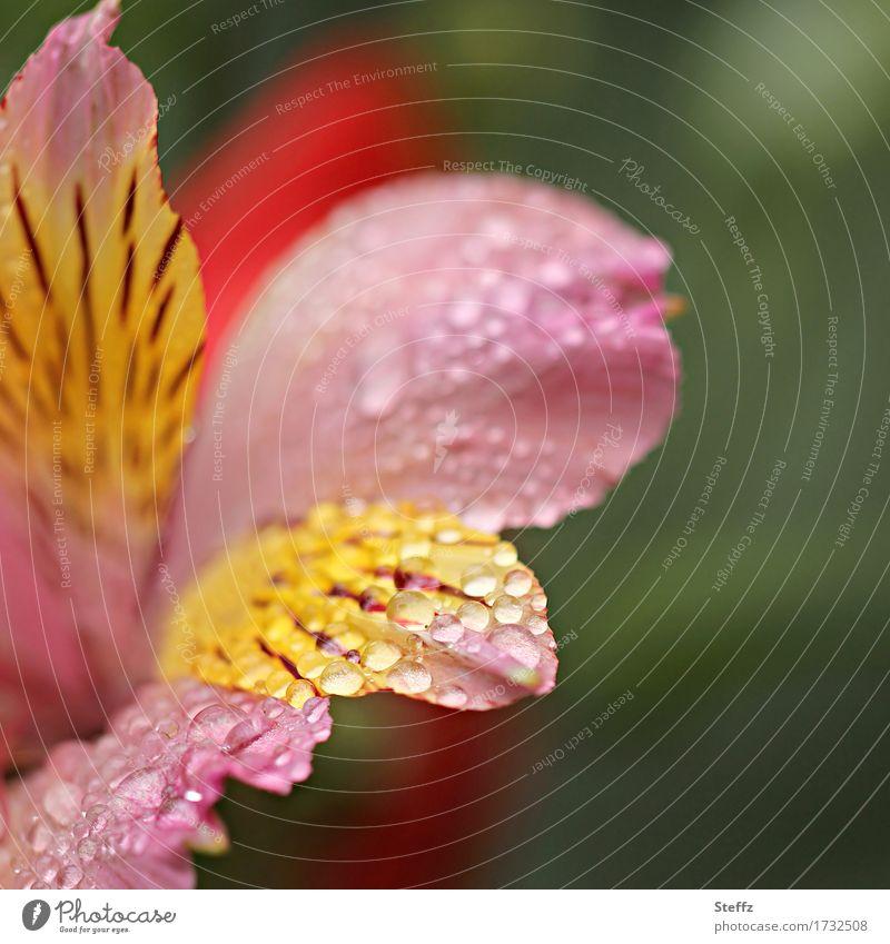 es regnet schon wieder.. Umwelt Natur Pflanze Sommer Regen Blume Blüte Lilien Tigerlilie Gartenblume Lilienblüte Blütenblatt Park nass schön gelb grün rosa