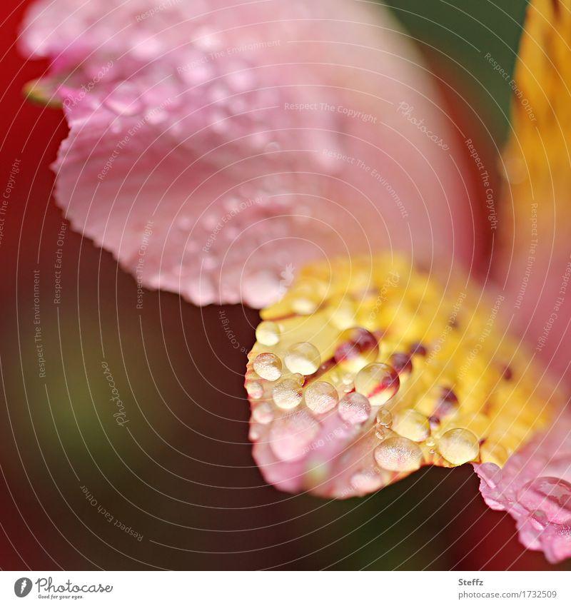 Regen im Garten Natur Pflanze Sommer schön Blume Umwelt gelb Blüte Garten rosa Regen Park Wetter Blühend Wassertropfen Blütenblatt