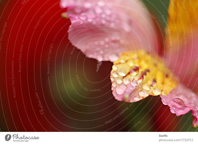 es regnet Umwelt Natur Pflanze Sommer Regen Blume Blüte Lilien Tigerlilie Blütenblatt Garten Park nass schön gelb rosa rot achtsam Wassertropfen Tropfen