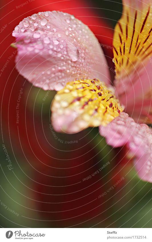 es regnet im Garten.. Natur Pflanze Sommer schön Blume Umwelt gelb Blüte rosa Regen Park Textfreiraum Blühend Wassertropfen nass