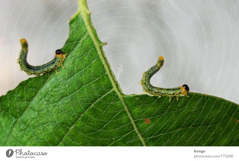 in ordine et agmine Farbfoto Außenaufnahme Textfreiraum rechts Tag Tierporträt Natur Pflanze Blatt Schmetterling Raupe 2 Fressen füttern hängen sitzen kaputt