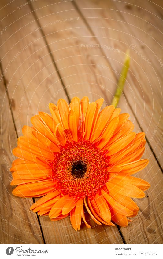 Gerbera orange Blume Blühend Blüte liegen Holzbrett Geschenk Pflanze Floristik Geburtstag Muttertag