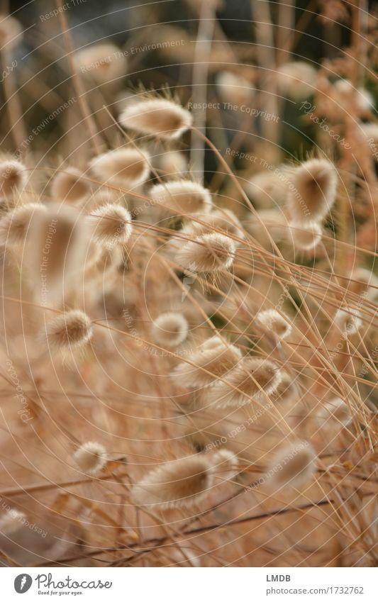 Herbstliches Puschel-Gras 2 Natur Pflanze Umwelt Wiese Garten Feld gold weich trocken Halm herbstlich Dürre Ähren Herbstfärbung