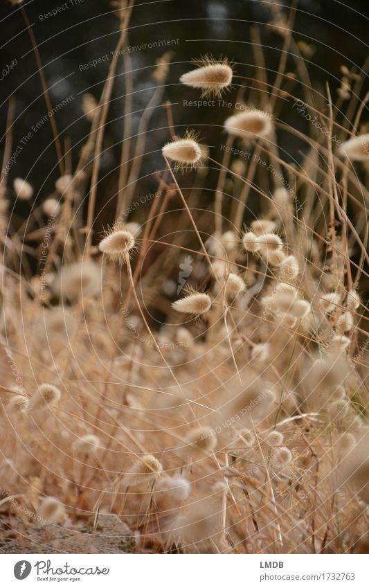 Herbstliches Puschel-Gras 4 Umwelt Natur Pflanze Wiese Feld trocken gold herbstlich Trockenblume Dürre dünn Erntedankfest Halm Ähren Farbfoto Außenaufnahme