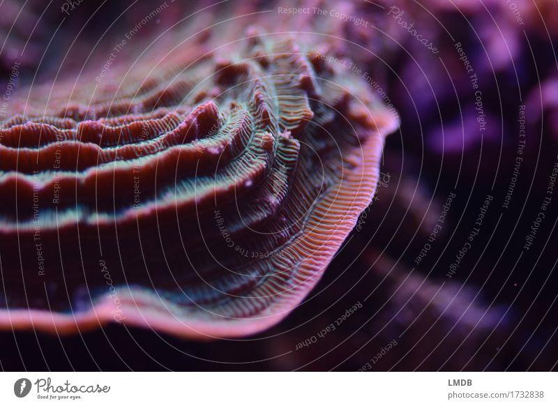 Korallenstufen Natur grün Wasser Meer Tier Umwelt Küste rosa bedrohlich geheimnisvoll violett Bucht exotisch Umweltschutz Etage mystisch